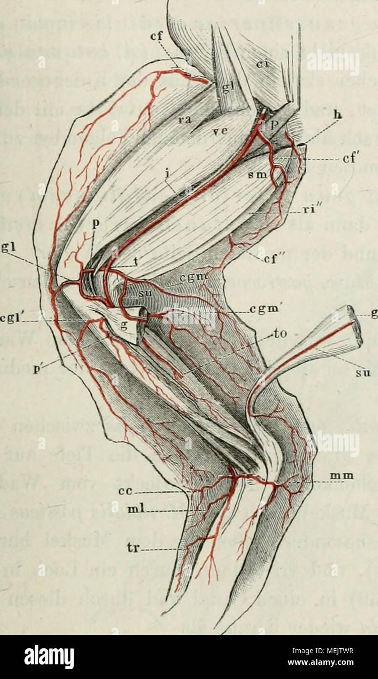 Ausgezeichnet Anatomie Des Beinbeuger Bilder - Anatomie Ideen ...