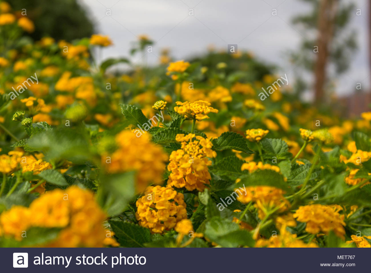 Rolling Field Of Yellow Flowers Stock Photo 181241375 Alamy