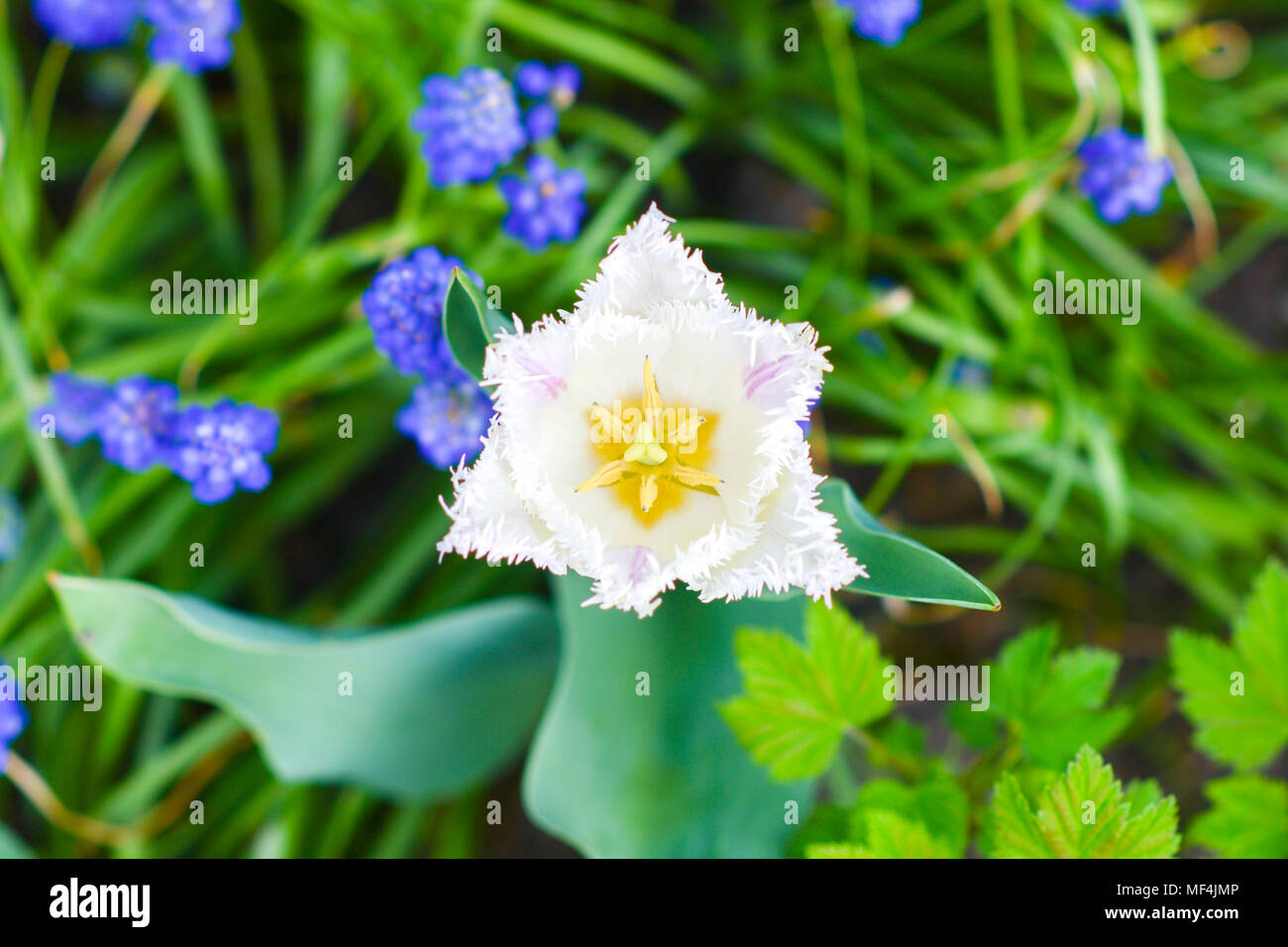 Papagayo Tulip Blooming In The Garden With Other Flowers Spring