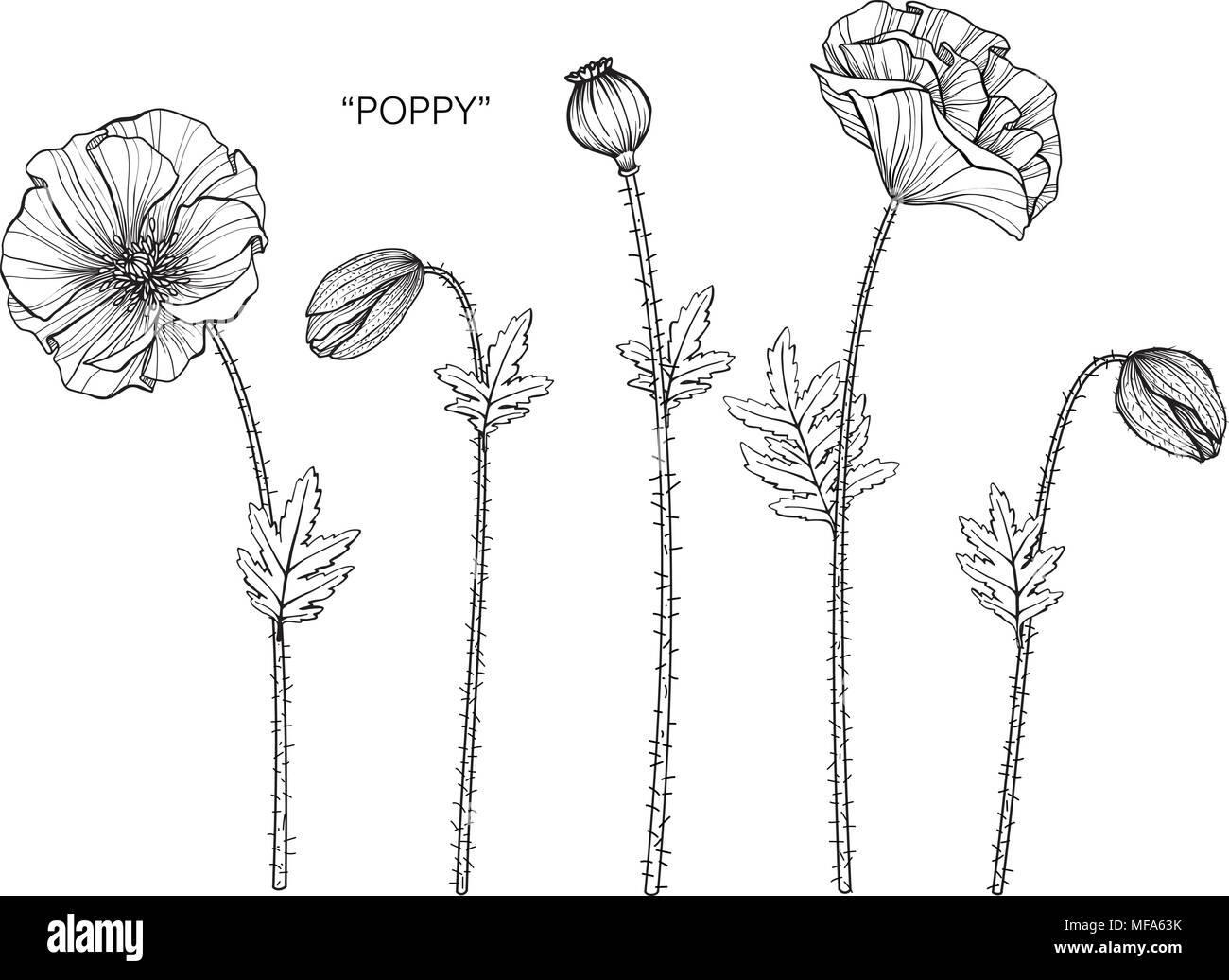 Poppy flower drawing illustration black and white with line art on poppy flower drawing illustration black and white with line art on white backgrounds mightylinksfo