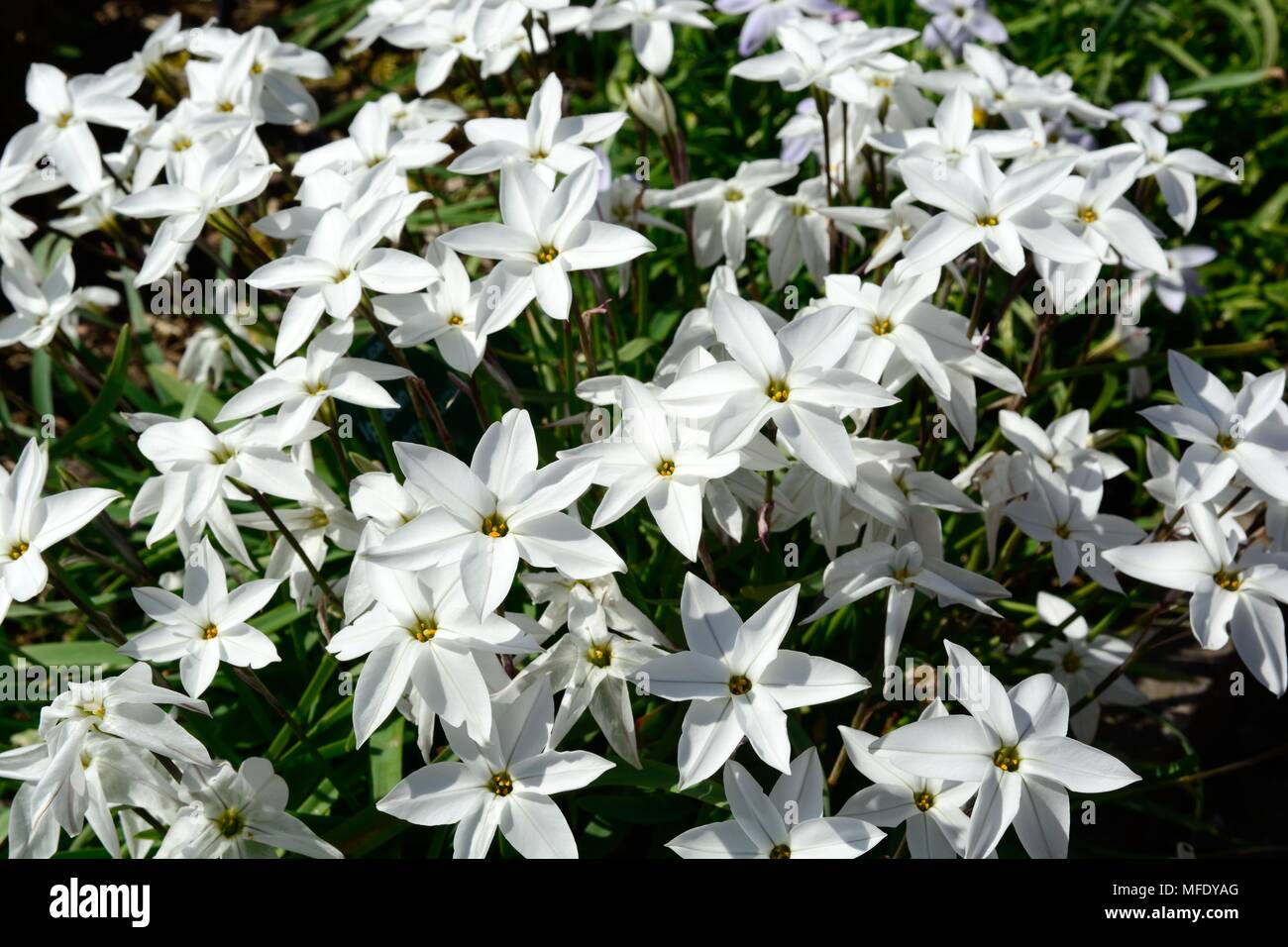 Ipheion alberto castillo or starflower white scented star shaped ipheion alberto castillo or starflower white scented star shaped flowers mightylinksfo