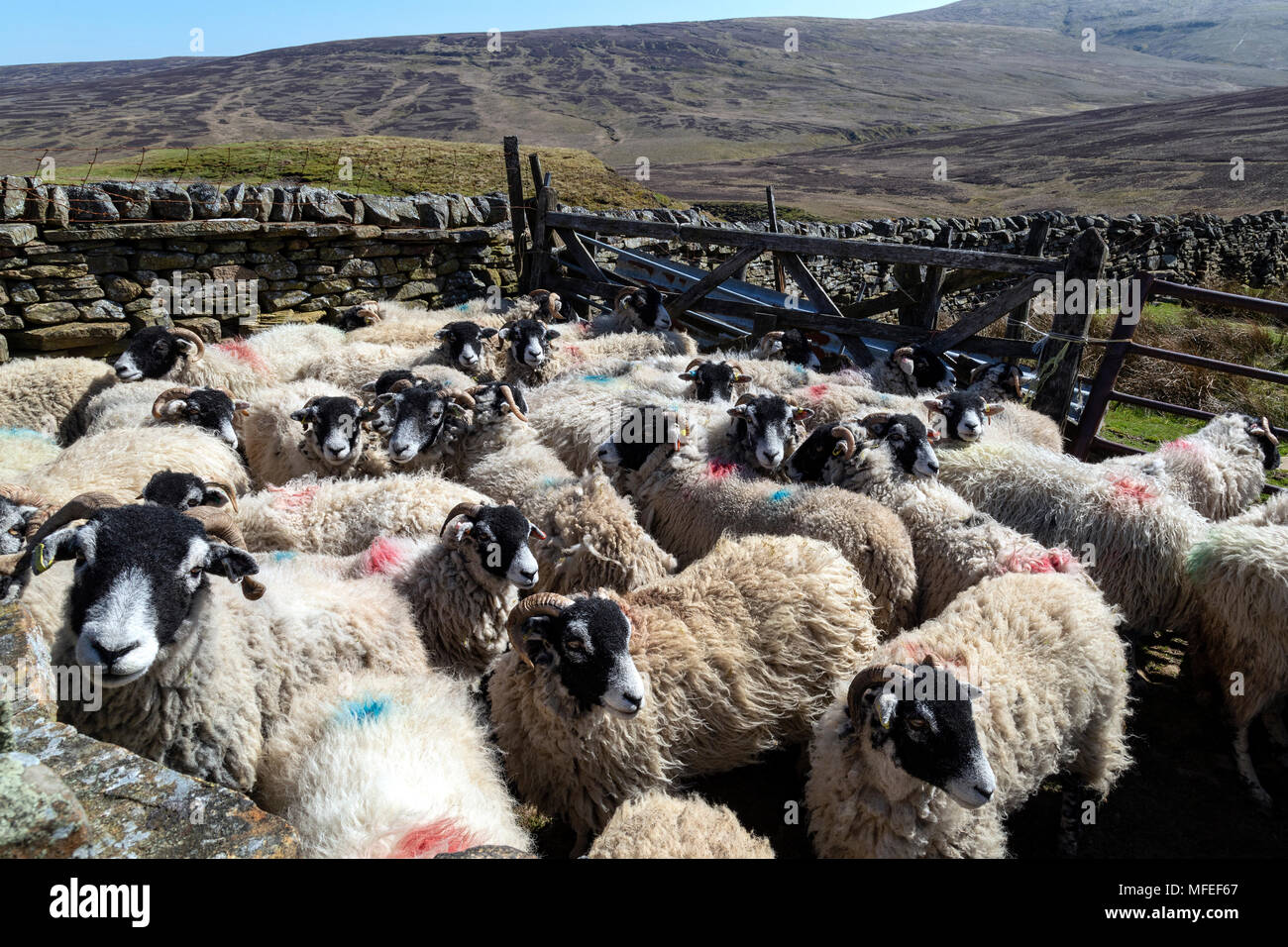 Swaledale sheep in the Yorkshire Dales in northeast England. - Stock Image