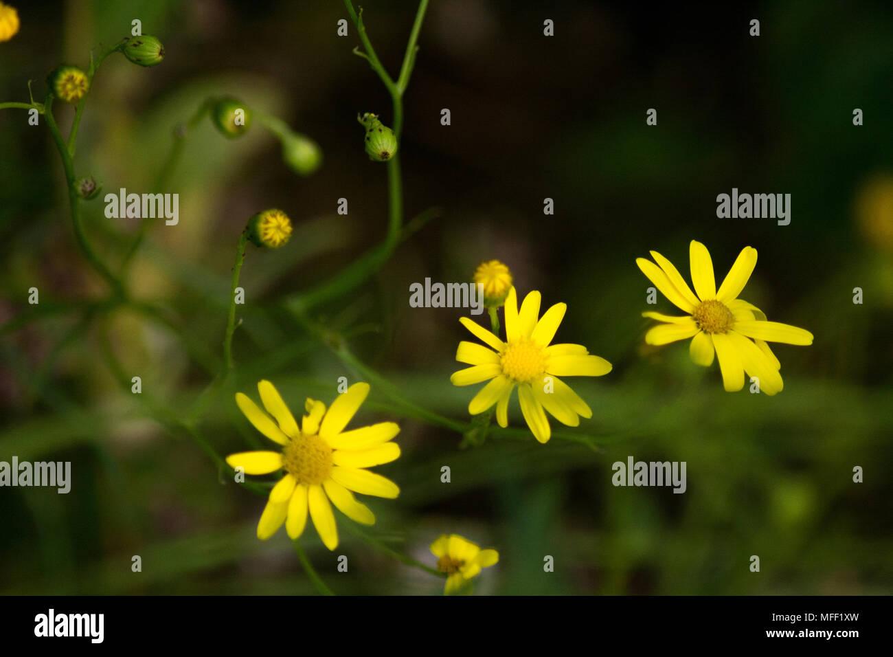 Three Tiny Yellow Flowers Stock Photo 181654337 Alamy