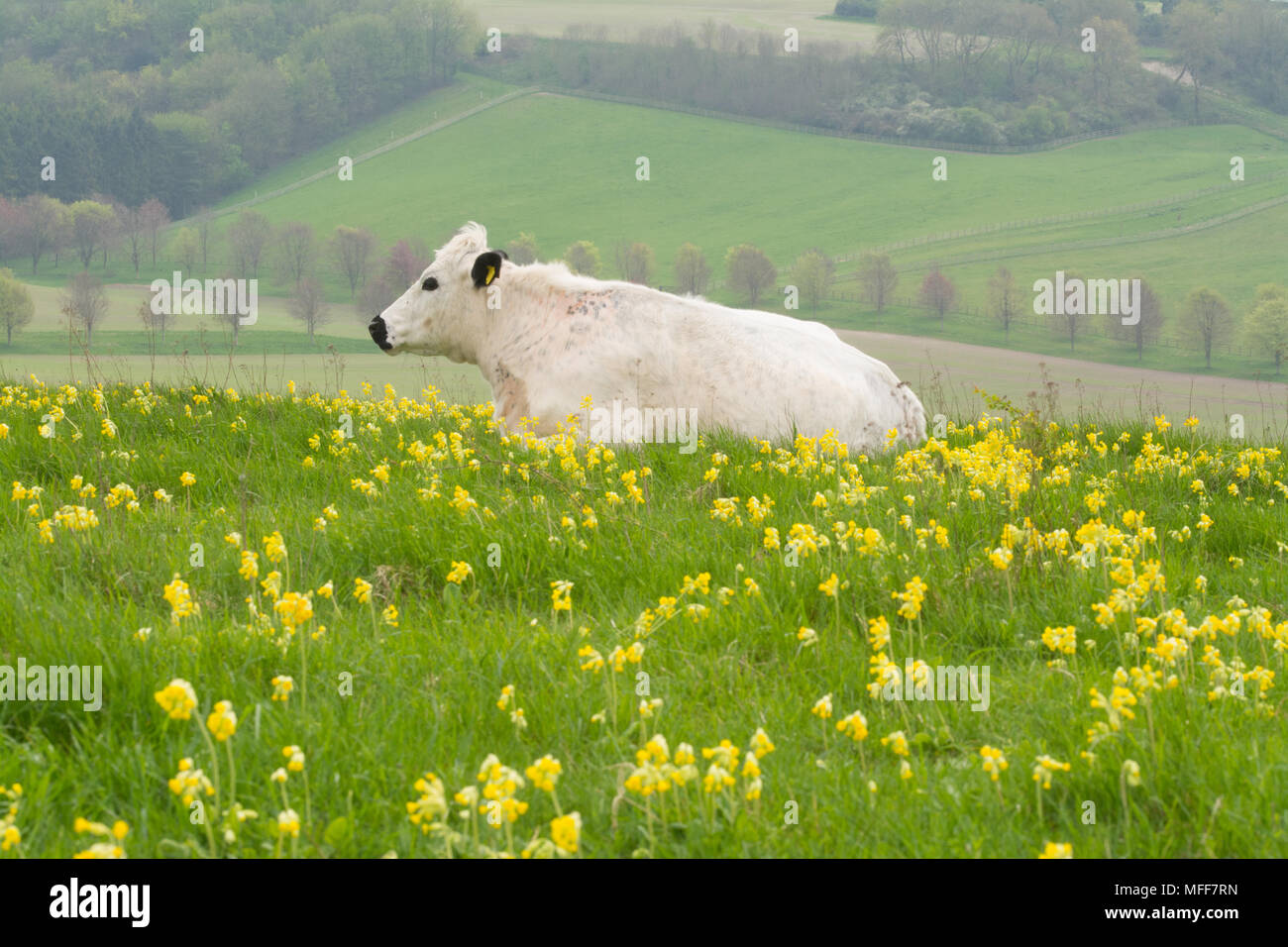british-white-cow-in-a-field-of-cowslips-at-magdalen-hill-down-butterfly-conservation-nature-reserve-in-the-south-downs-national-park-hampshire-uk-MFF7RN.jpg