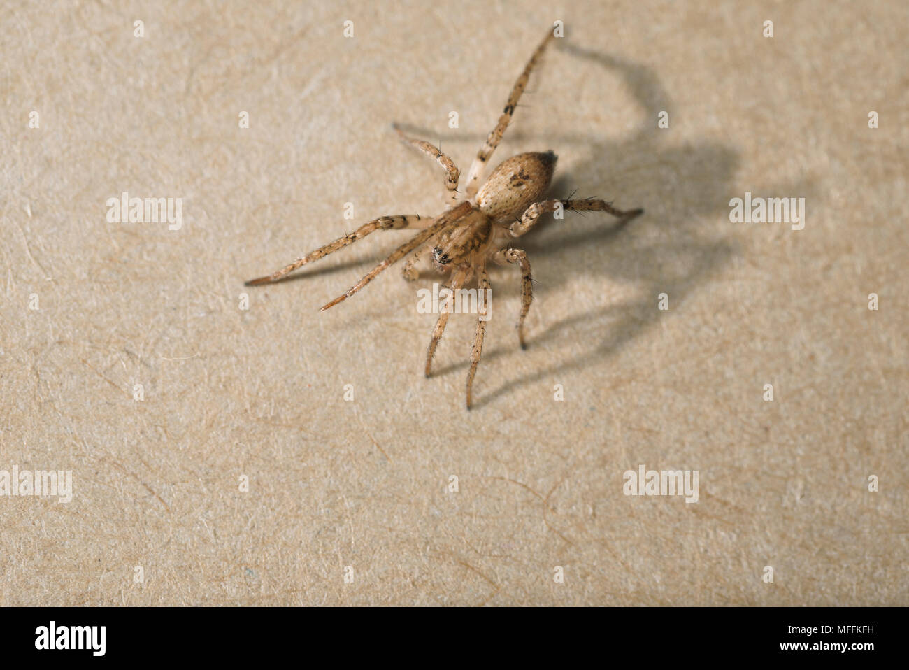 BUZZING SPIDER - male - Stock Image