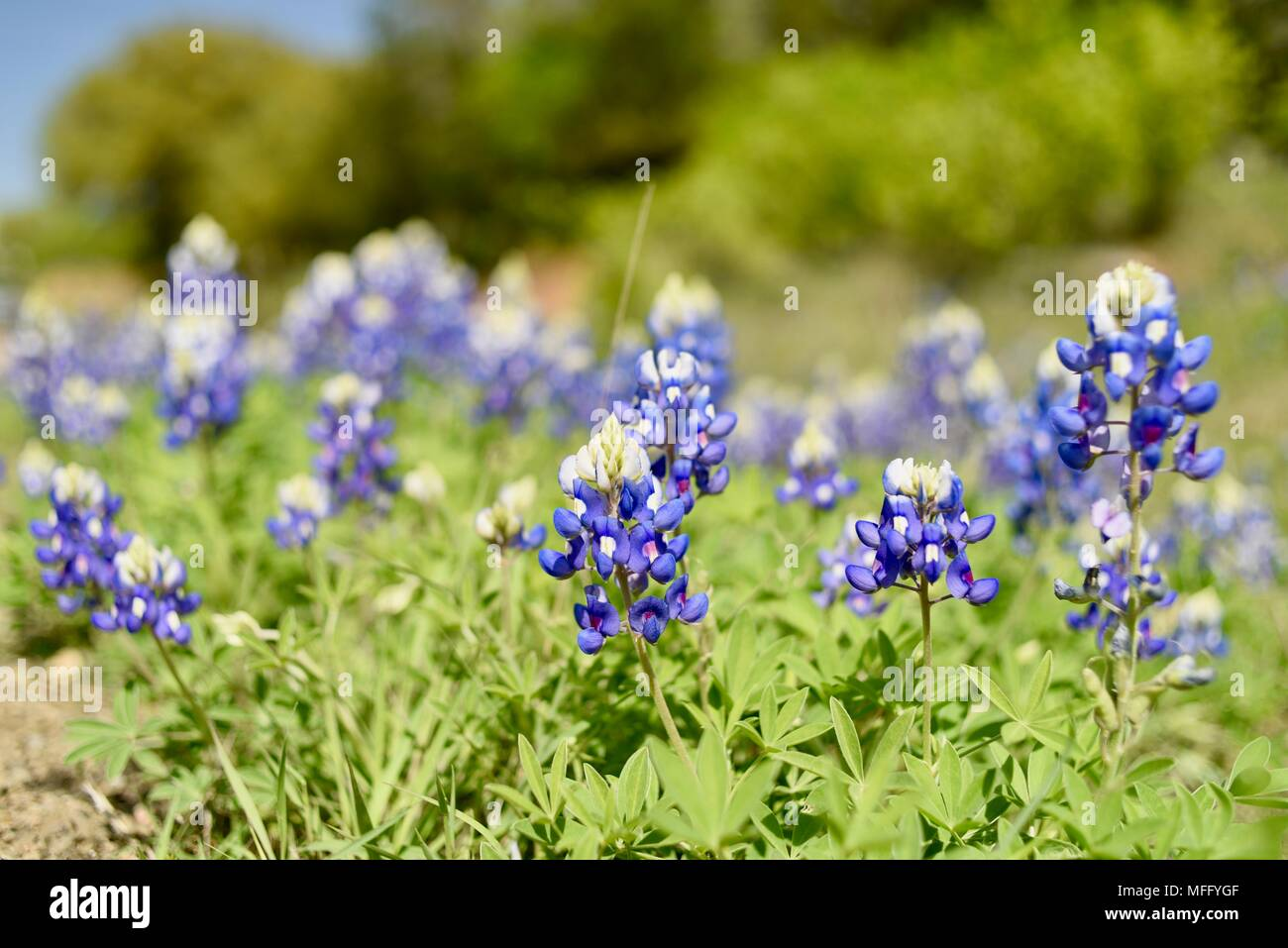 Spring blooming of texas bluebonnets state flower of texas growing spring blooming of texas bluebonnets state flower of texas growing wild in texas hill country fredericksburg texas usa mightylinksfo