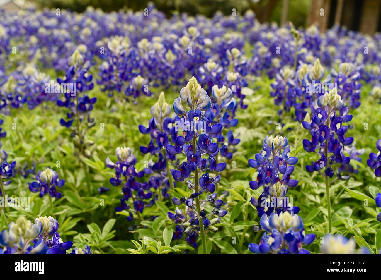 Spring blooming of texas bluebonnets state flower of texas growing spring blooming of texas bluebonnets state flower of texas growing in front yard of home in historic district fredericksburg texas usa mightylinksfo