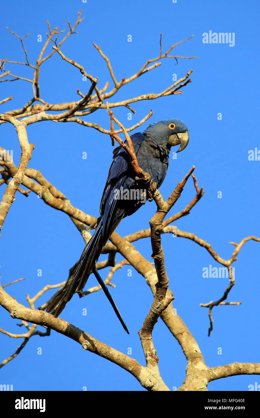 Hyacinth Macaw (Nodorhynchus hyacinthinus) on a Branch. Pantanal, Brazil - Stock Image