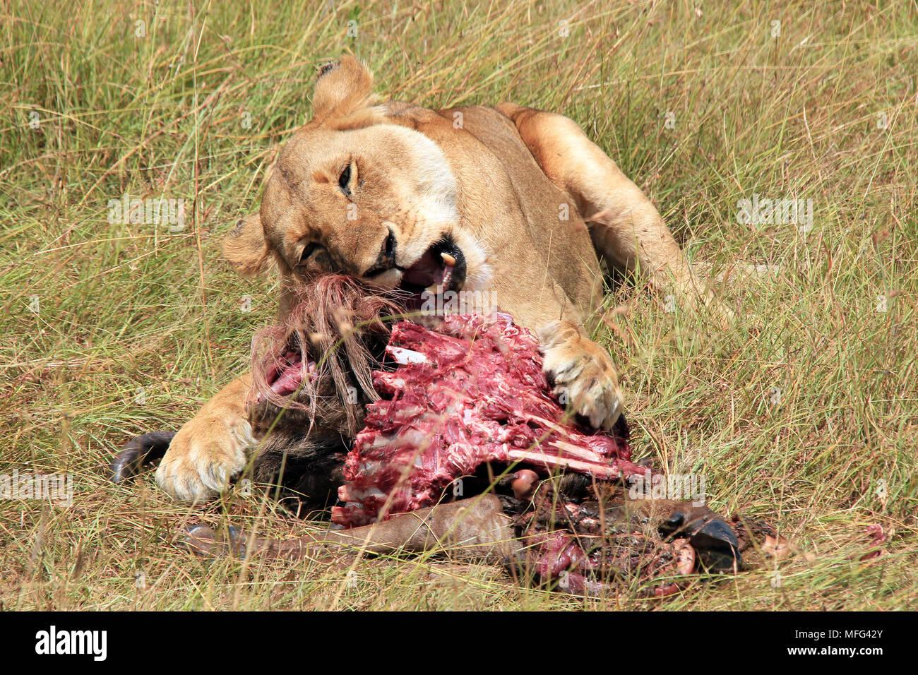 Lioness (Panthera Leo) Feeding on a Wildebeest. Maasai Mara, Kenya - Stock Image