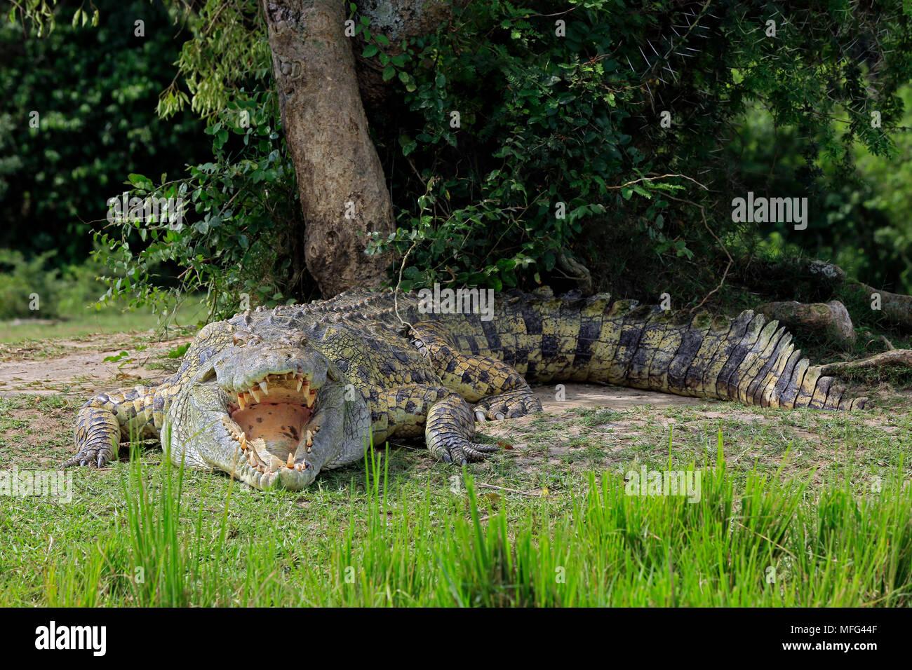 Nile Crocodile (Crocodylus Niloticus) with Open Mouth, Lying on the River Bank. Murchison Falls, Uganda - Stock Image