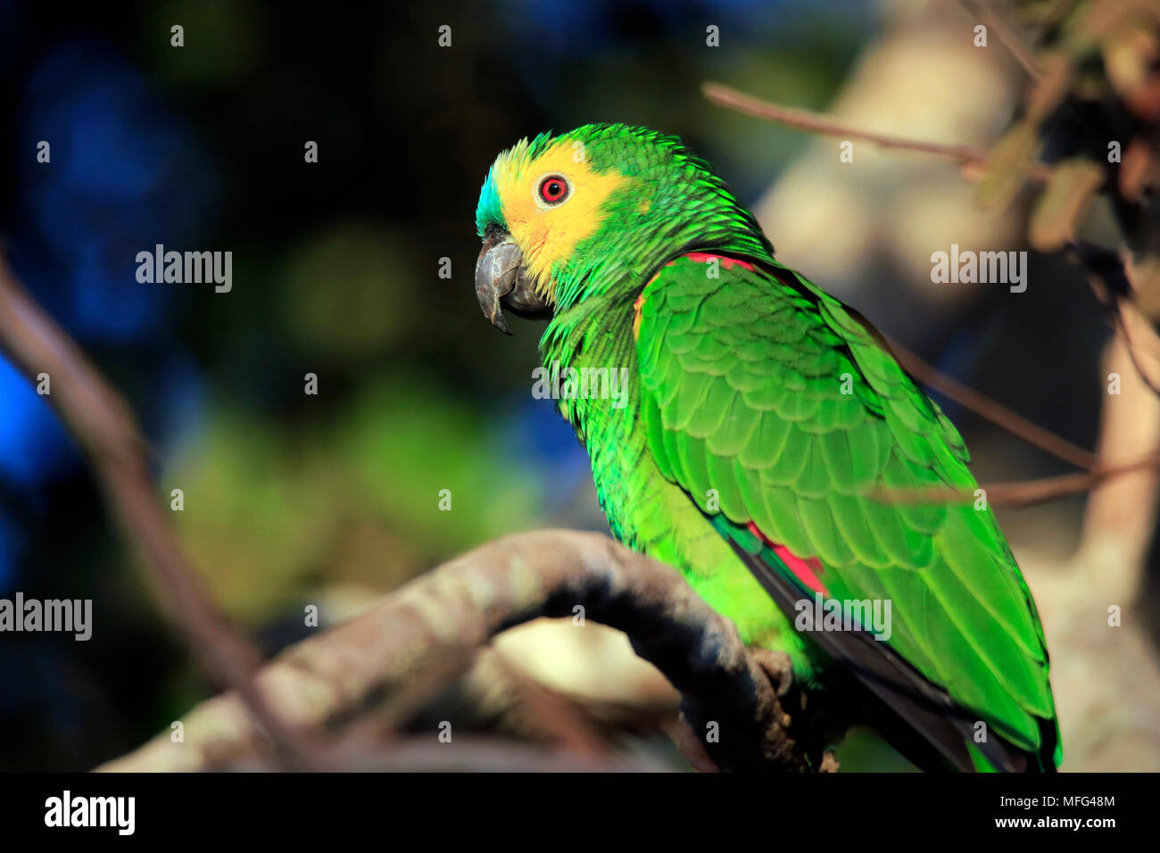 Turquoise-fronted Amazon (Amazona aestiva, aka Turquoise-fronted Parrot) on a Branch. Pantanal, Brazil - Stock Image