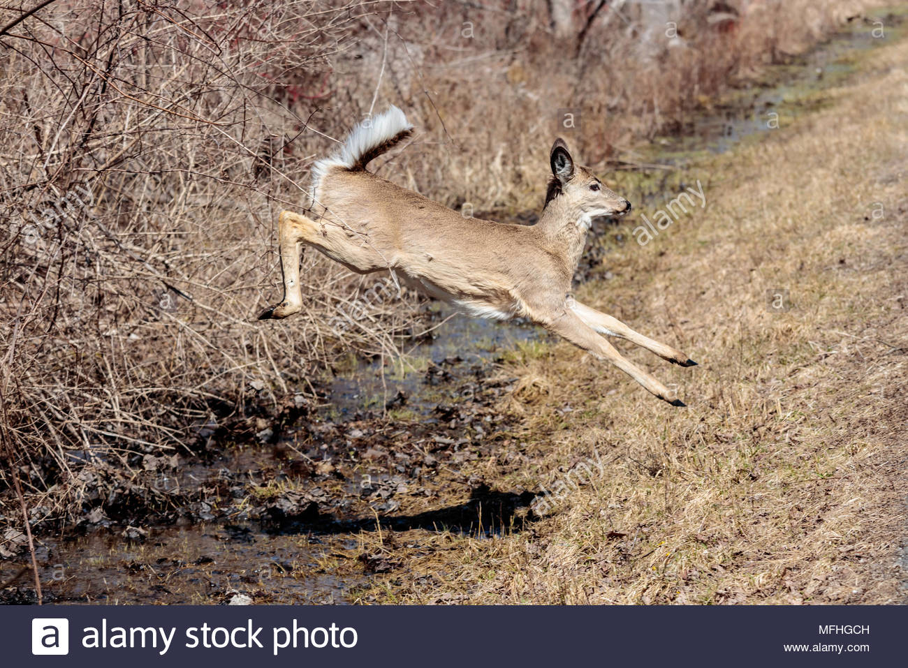 white-tailed-deer-odocoileus-virginianus