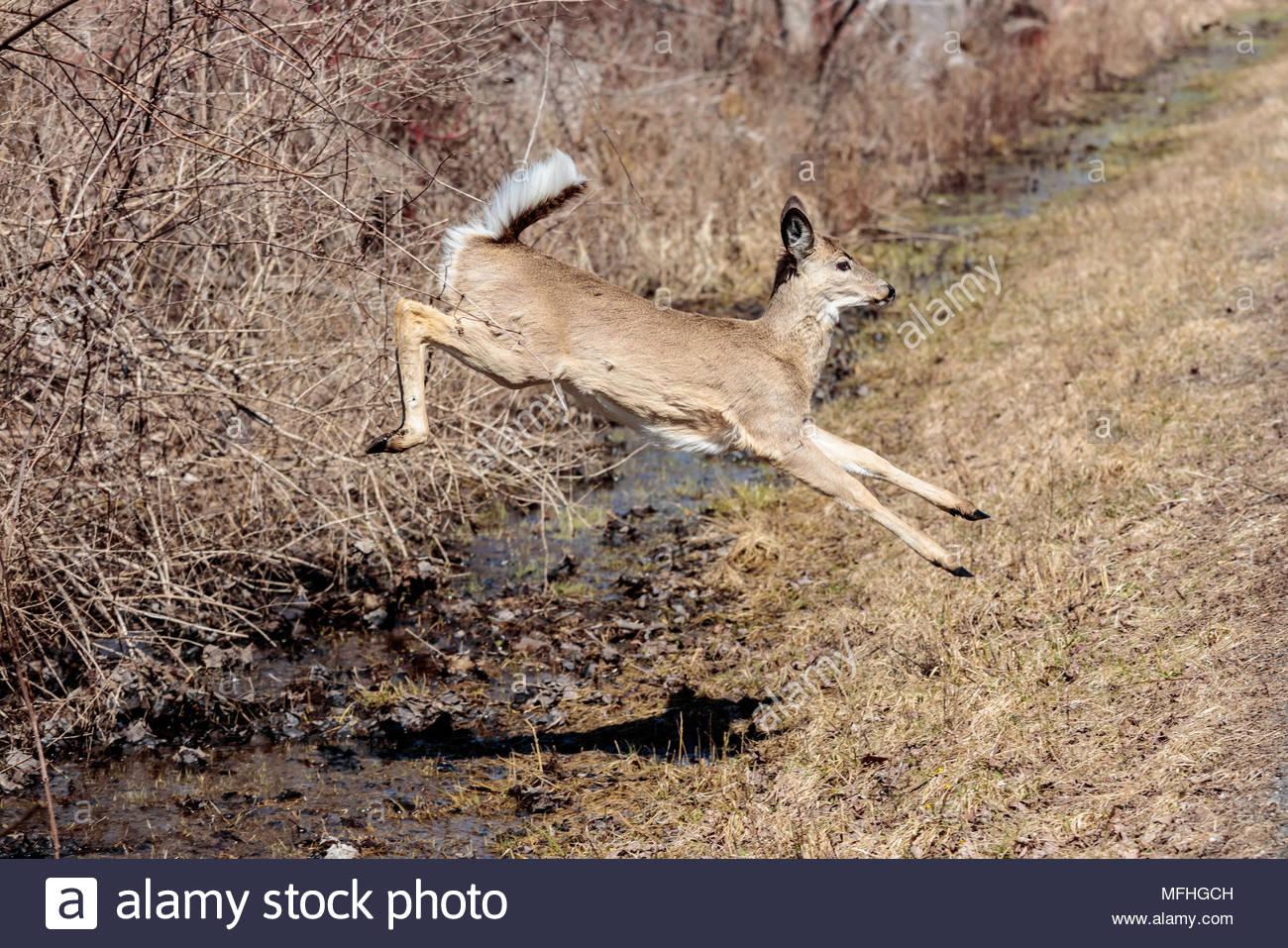 white-tailed-deer-odocoileus-virginianus