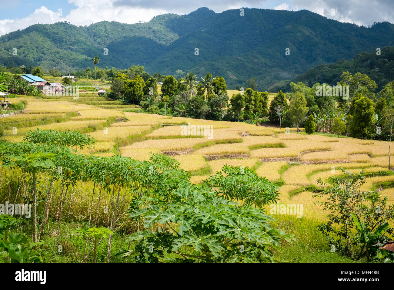 Terraced rice fields near Ende, Flores Island (East Nusa Tenggara), Indonesia. - Stock Image