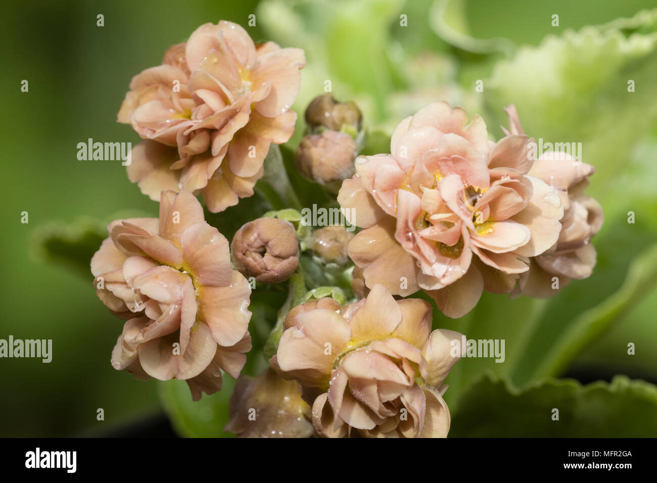 Peach Coloured Double Flowers Of The Spring Flowering Evergreen