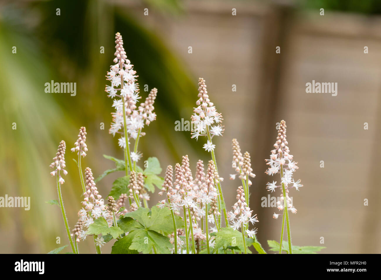 White flowers on the spikes of the spring flowering perennial foam white flowers on the spikes of the spring flowering perennial foam flower tiarella iron butterfly mightylinksfo