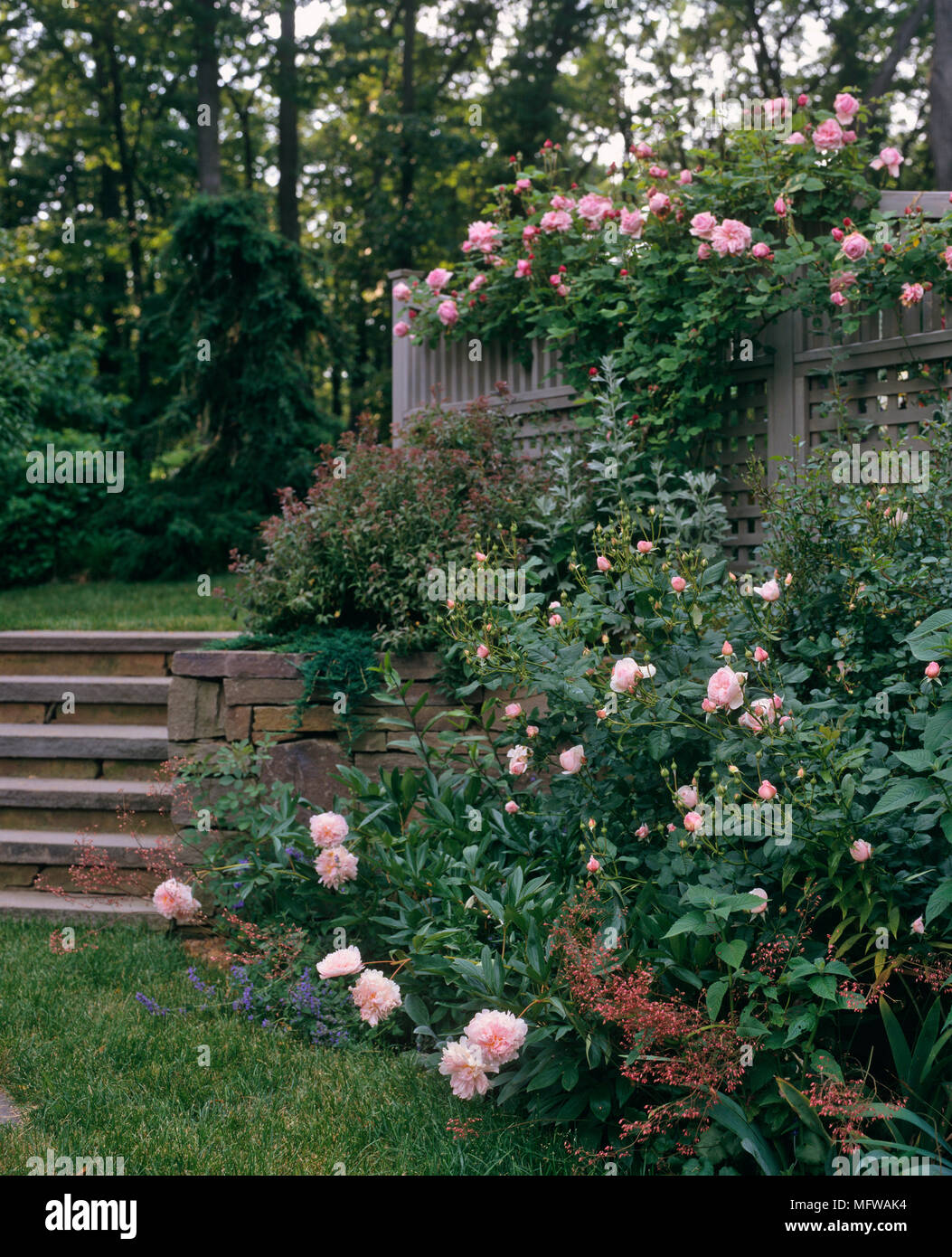 Garden With Pink Roses Growing On Trellis And In Border