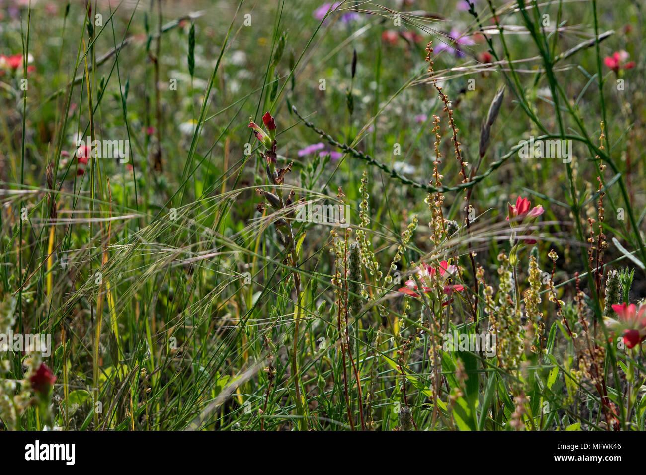 Field Of Wildflowers Found In A Butterfly Garden And Habitat In Northwest  Texas At Kerrville Schreiner Park.