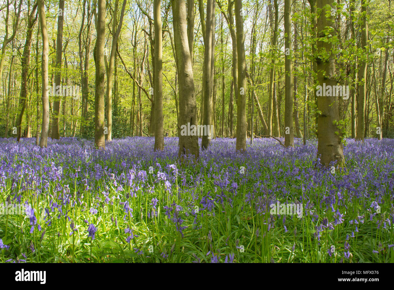 bluebell-woods-landscape-near-hinton-ampner-hampshire-uk-spring-in-the-english-countryside-MFX076.jpg