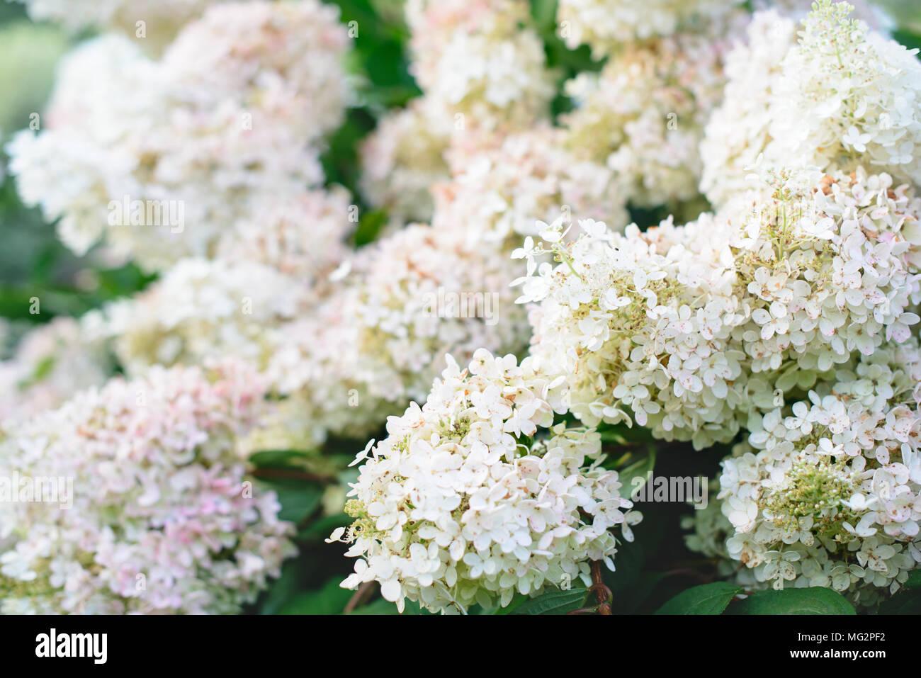 White Hydrangea Flowers In A Garden Over Blurred Background Stock