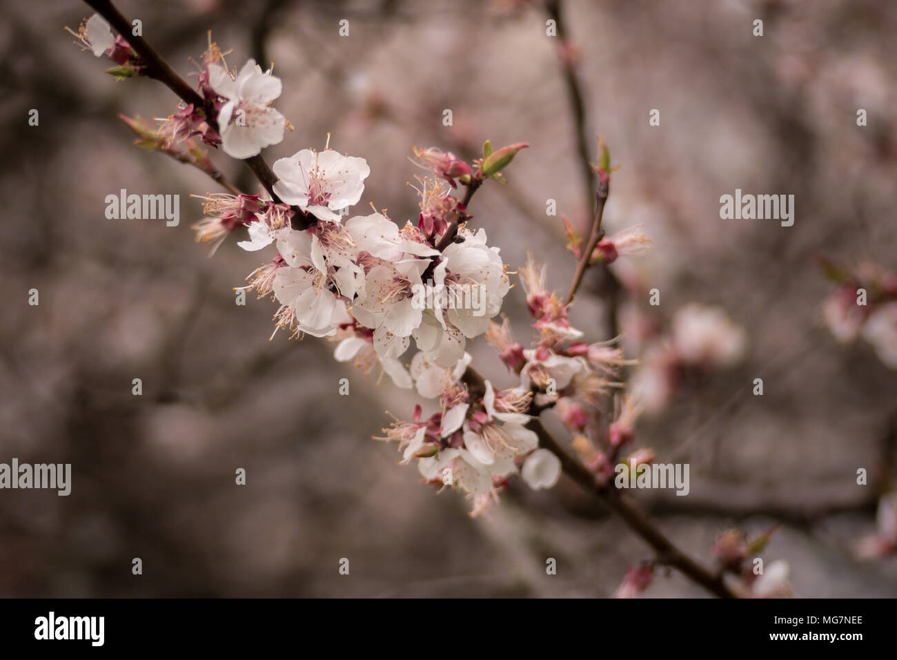 Flowering Apricot Tree In Spring White Flowers Of Apricot Spring