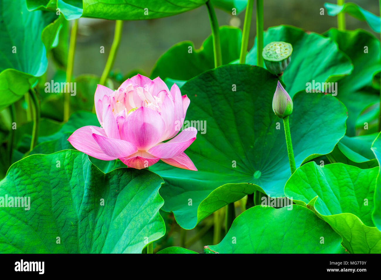 Closeup of a pink lotus flower surrounded by large green lotus closeup of a pink lotus flower surrounded by large green lotus leaves izmirmasajfo