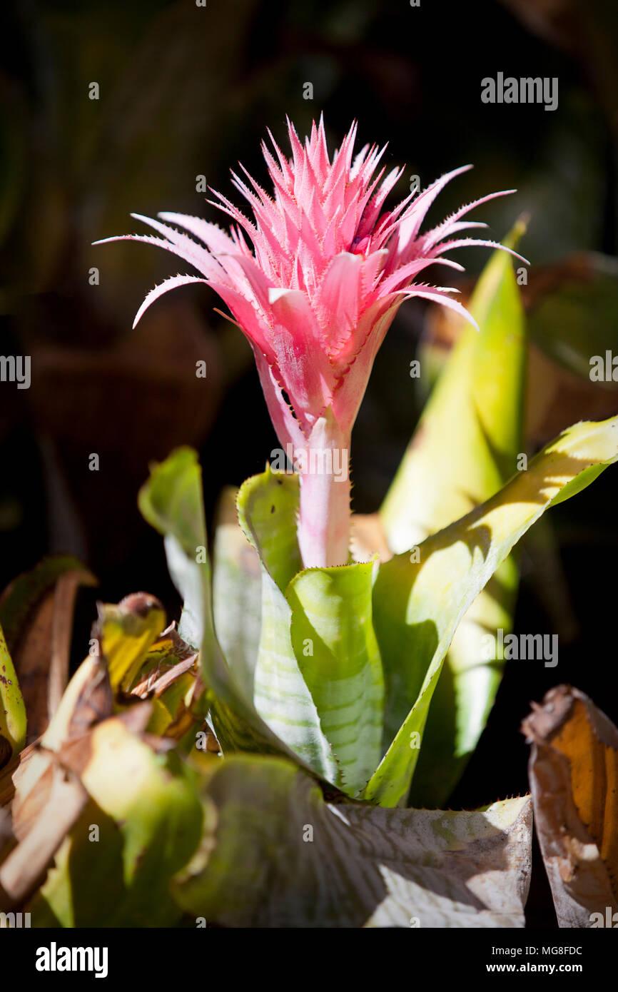 Pink Bromeliad Flower Plant Stock Photo 182125928 Alamy