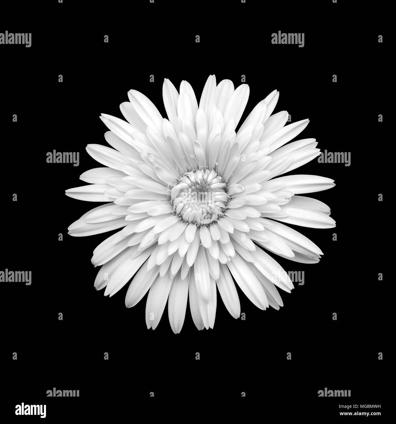 Chrysanthemum black and white stock photos images alamy black and white chrysanthemum flower stock image mightylinksfo Choice Image