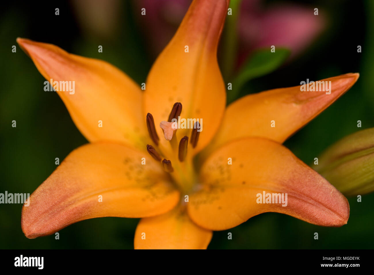 A close up of an orange asiatic lily flower with bokeh stock photo a close up of an orange asiatic lily flower with bokeh izmirmasajfo
