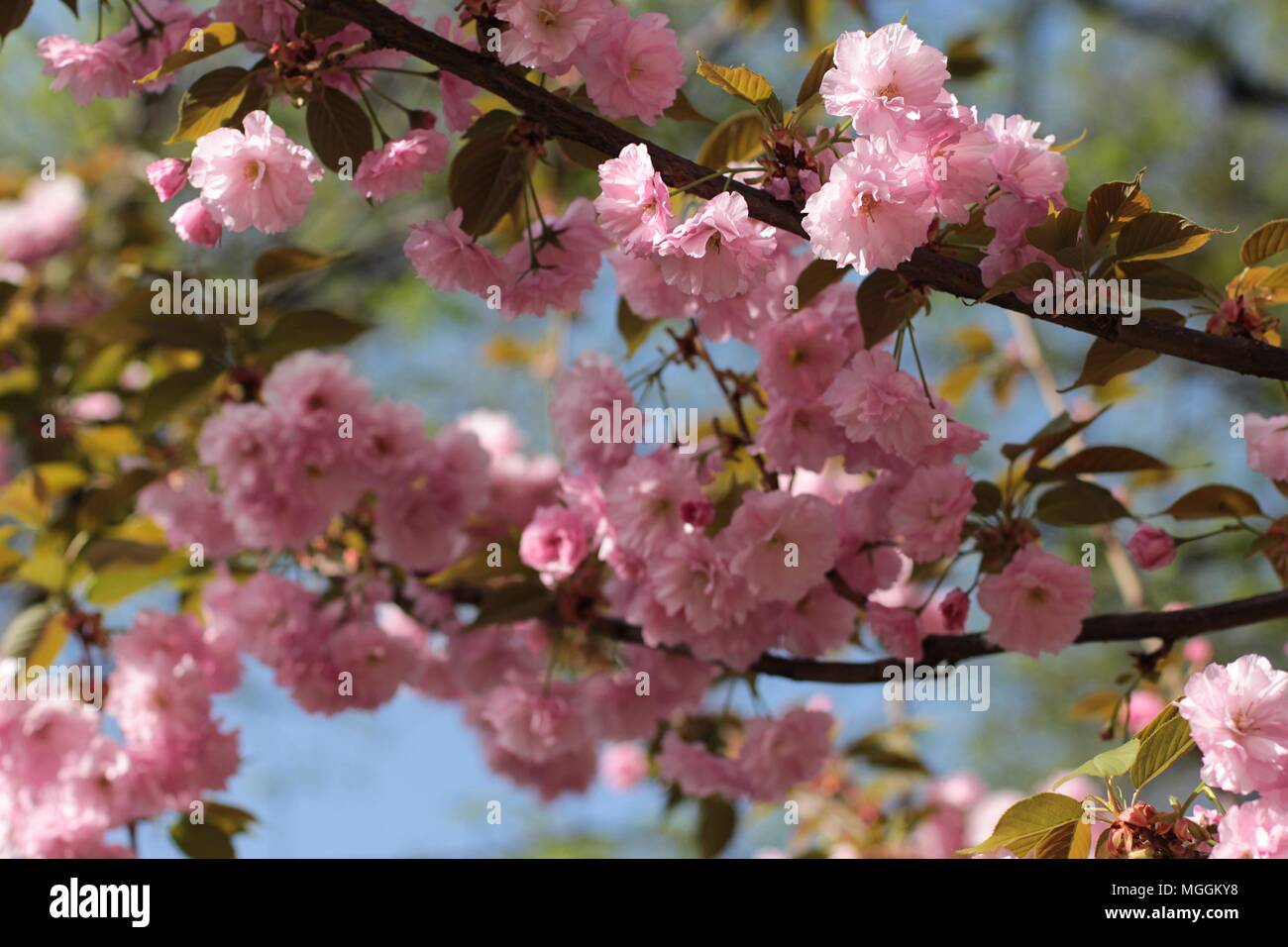 Pink Flowers Of Japanese Cherry Tree Prunus Serrulata Stock Photo