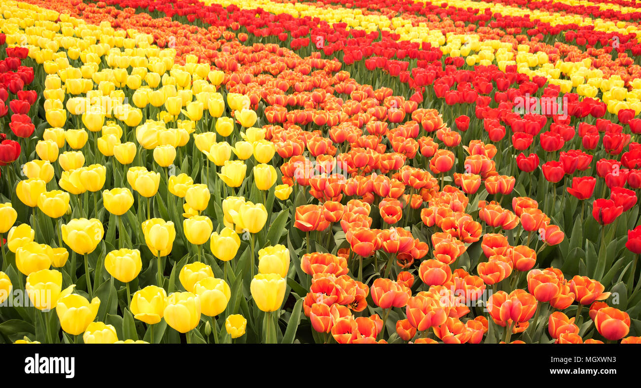 full-frame-filled-with-tulips-in-various-colors-at-keukenhof-flower-garden-netherlands-MGXWN3.jpg