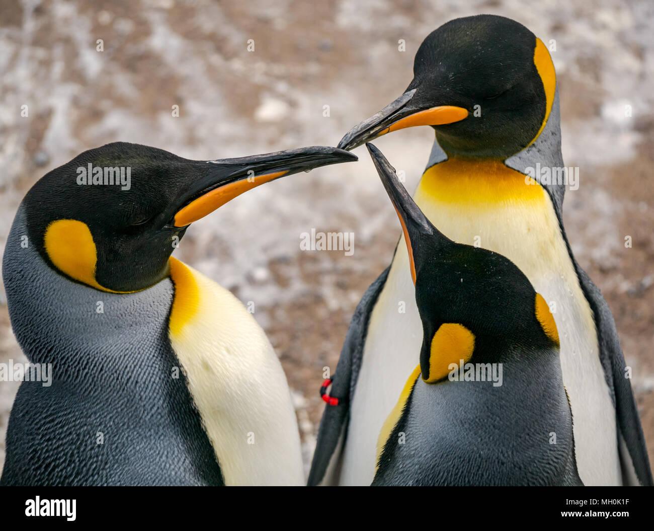 emperor-penguins-aptenodytes-forsteri-em