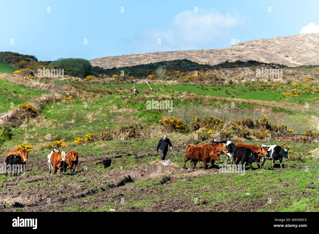 ballydehob-ireland-mon-30th-apr-2018-a-local-farmer-moves-his-cattle-to-the-farmyard-for-tb-testing-on-a-bright-and-sunny-day-the-day-will-have-sunny-spells-and-scattered-showers-with-highs-of-10-to-13-degrees-credit-andy-gibsonalamy-live-news-MH5WCX.jpg