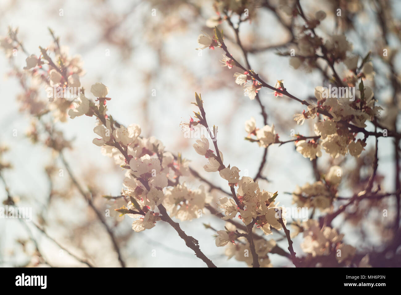 Spring flowering of apricot tree white flowers of apricot spring spring flowering of apricot tree white flowers of apricot spring flowering of fruit trees a tree with white flowers spring garden city park mightylinksfo