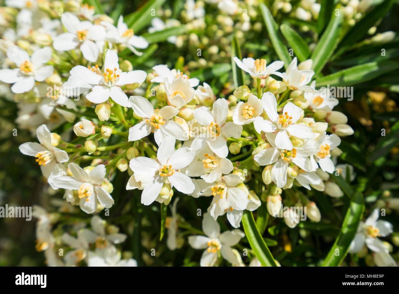 aztec-pearl-in-flower-MH8E9P.jpg
