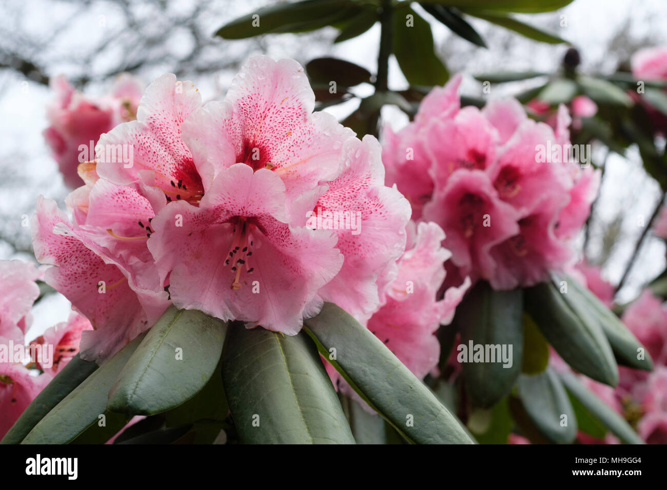 Close Up Of The Pink Flowers Of The Rhododendron Lady Linlithgow