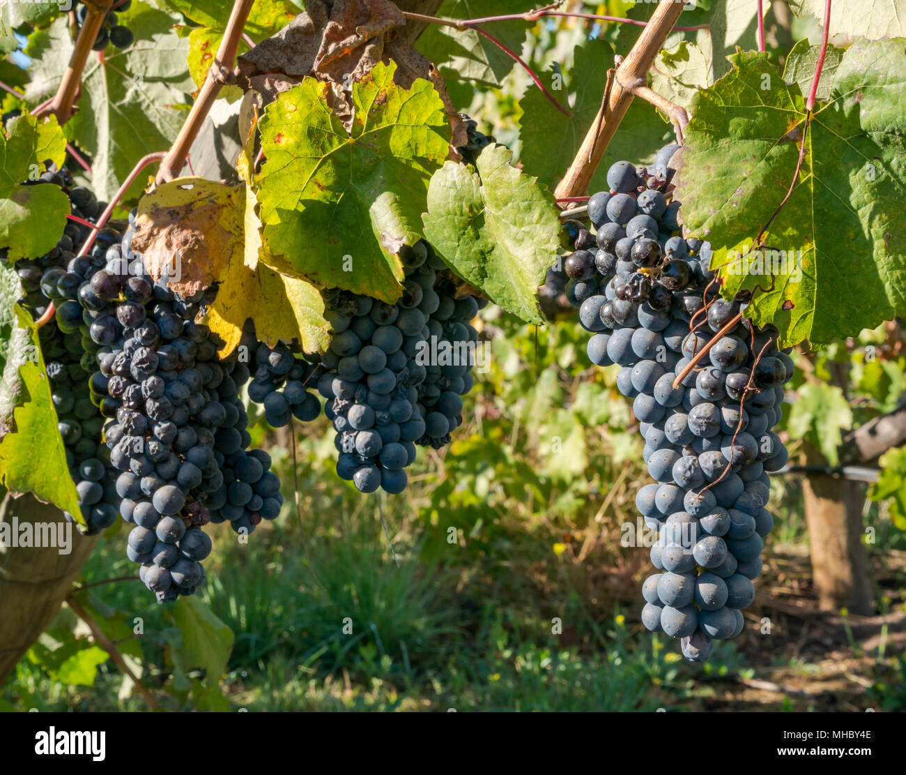close-up-of-sunlit-ripe-wine-grapes-sant