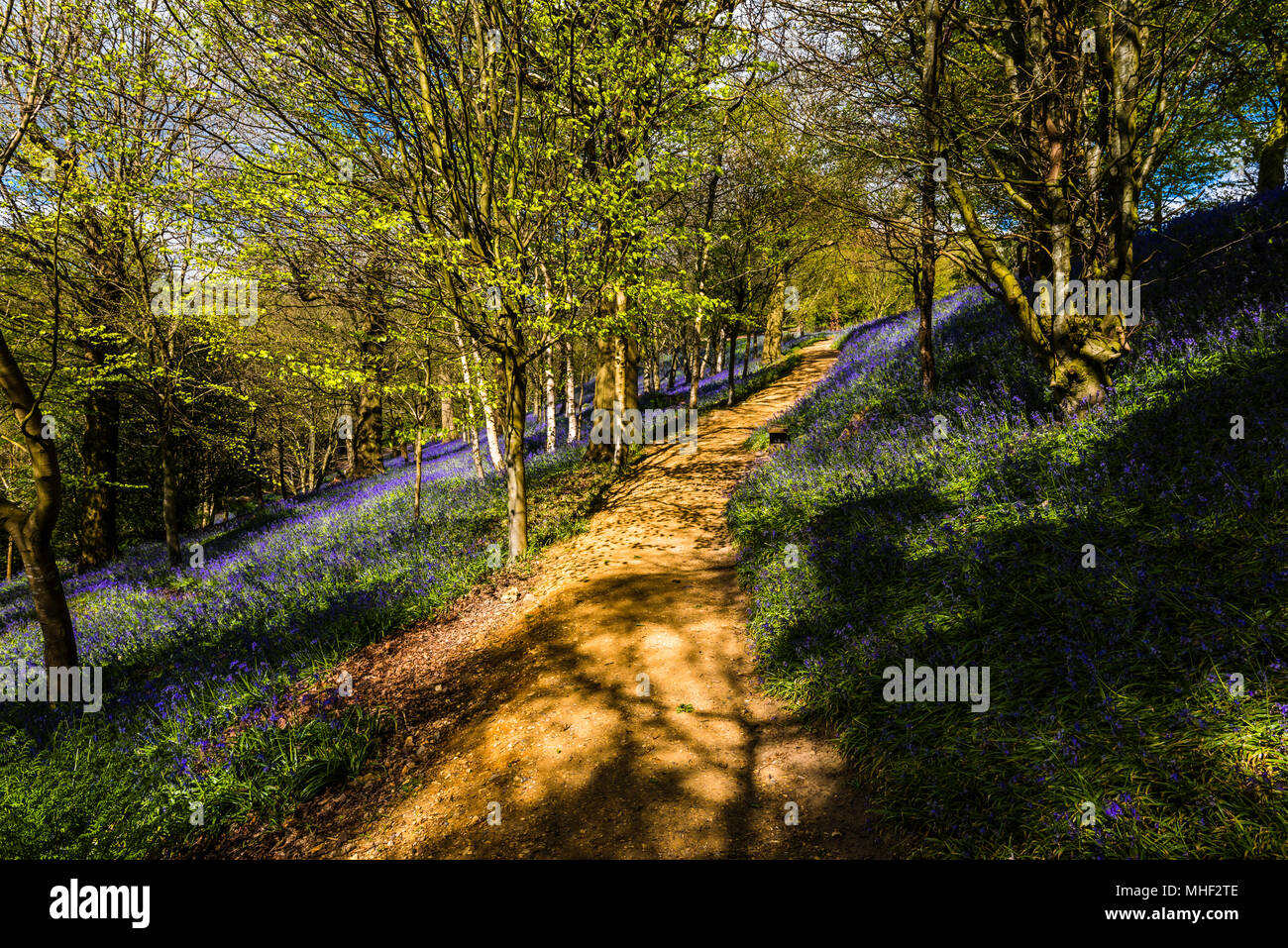 Path through a carpet of woodland Bluebells in the spring sunshine, Emmetts Garden, Kent, UK - Stock Image