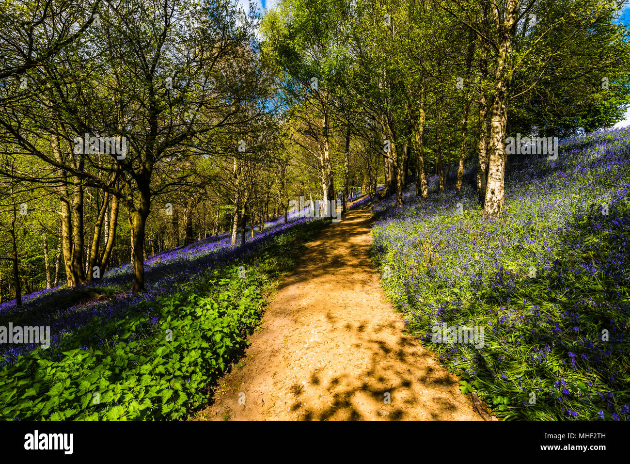 Pathway through a carpet of woodland Bluebells in the spring sunshine, Emmetts Garden, Kent, UK - Stock Image