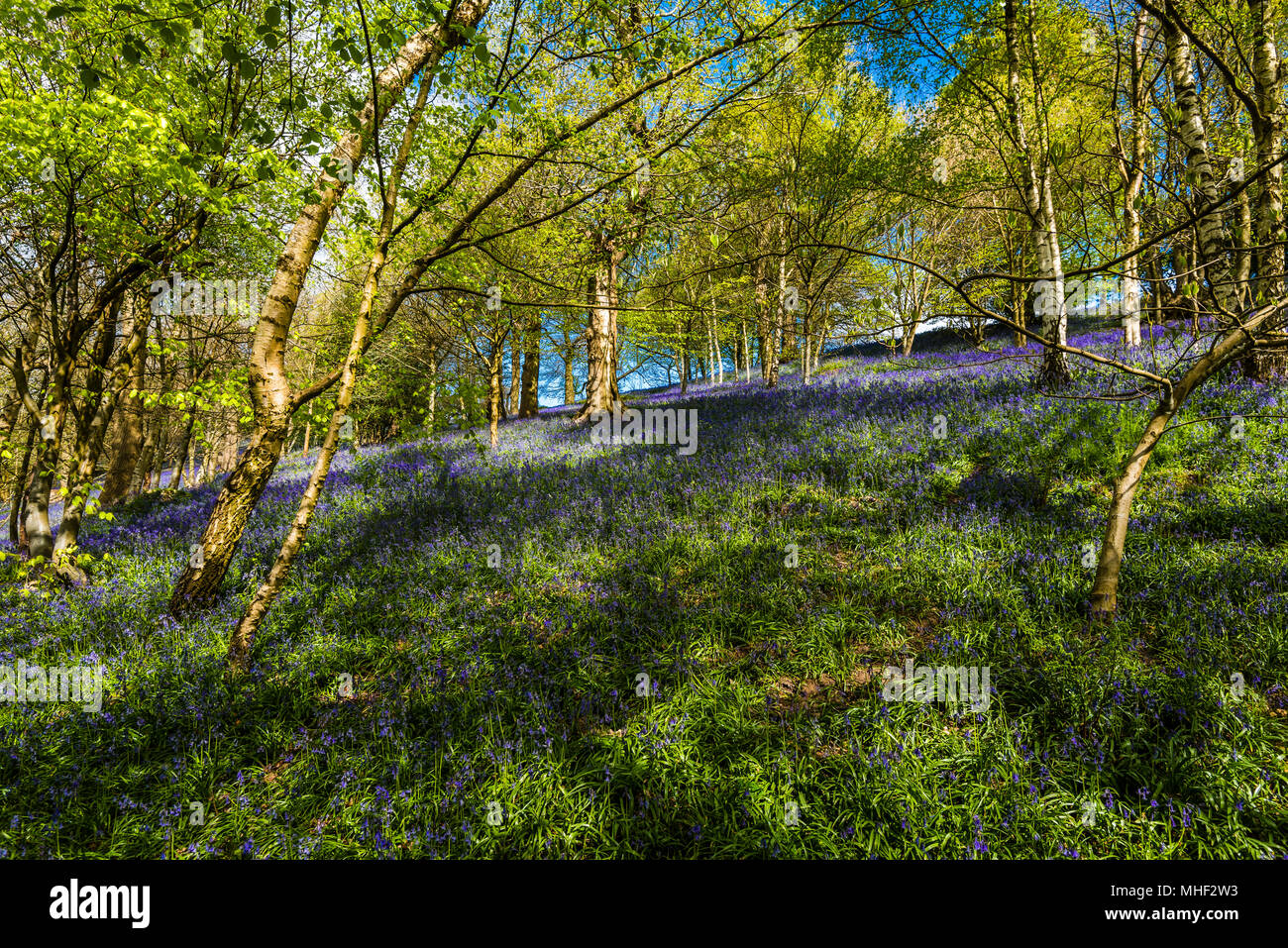 Carpet of woodland Bluebells caught in the spring sunshine, Emmetts Garden, Kent, UK - Stock Image