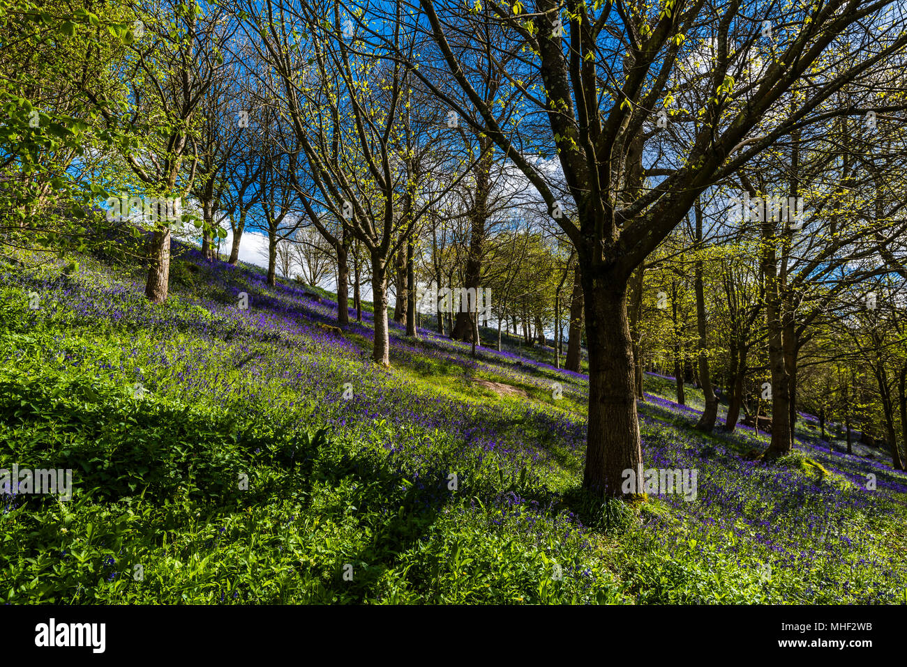 Mass of woodland Bluebells caught in the spring sunshine, Emmetts Garden, Kent, UK - Stock Image