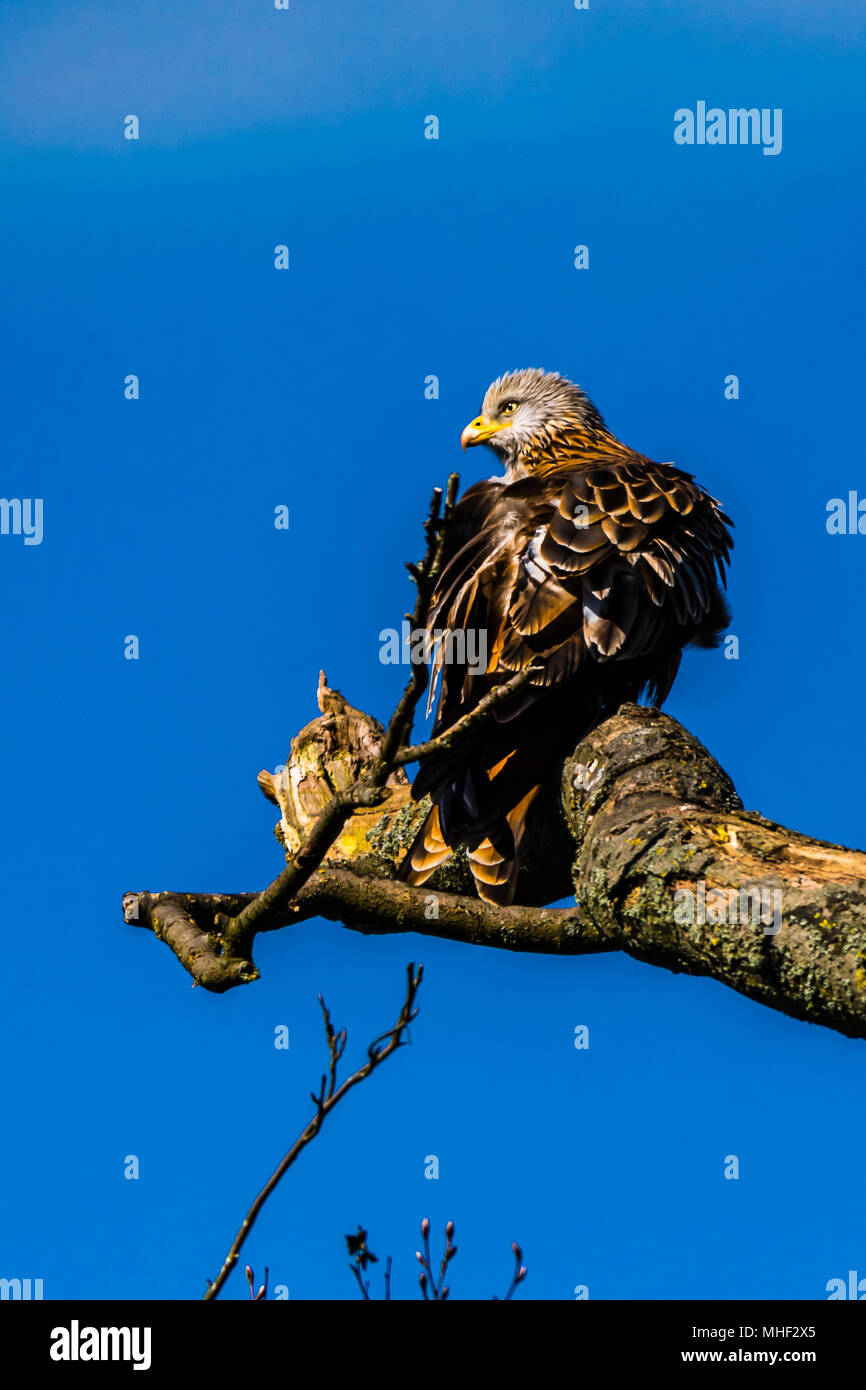 Red Kite resting in a tree against a blue sky, Buckinghamshire, UK - Stock Image