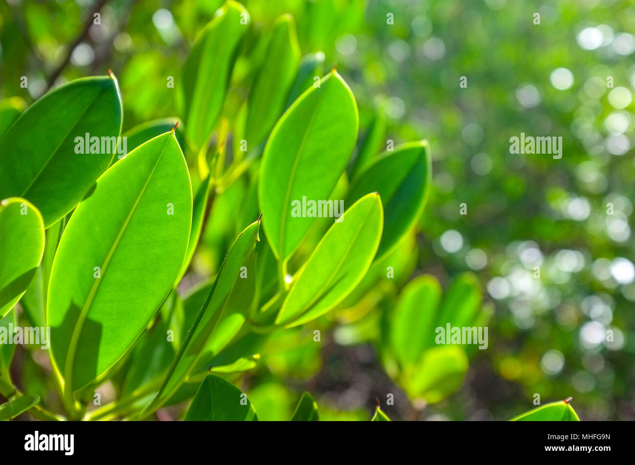 close-up-of-mangrove-trees-leaves-at-eas