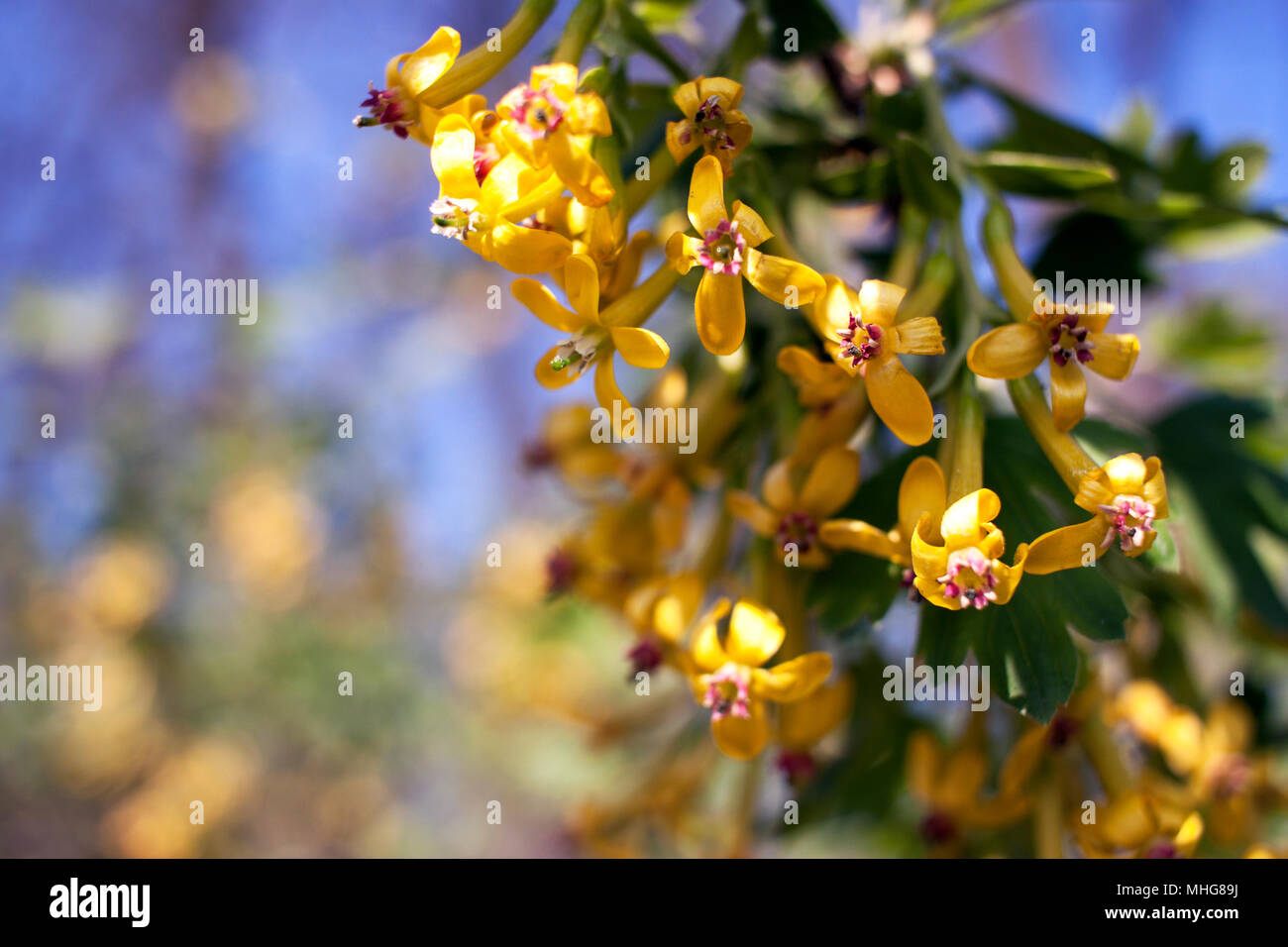 Yellow Flowers Of Golden Currant Ribes Aureum Stock Photo 182910606