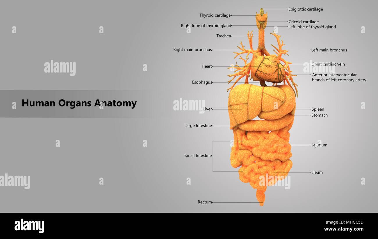 Human Body Internal Organs with Label Design Anatomy Anterior View ...