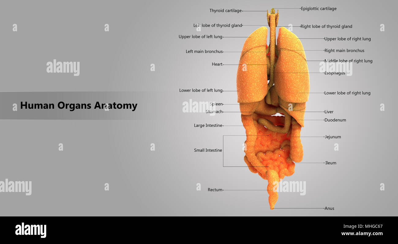 Human Body Internal Organs With Label Design Anatomy Posterior View