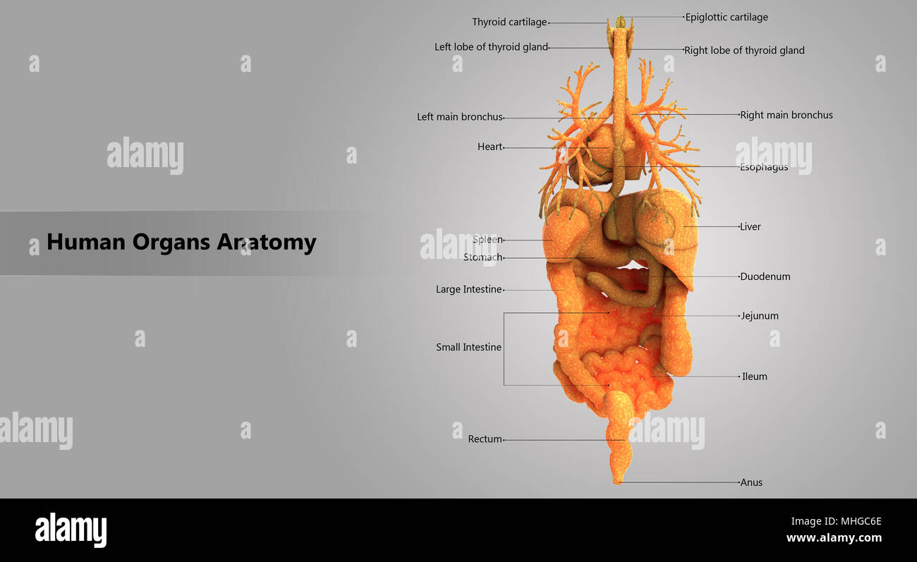 Picture Internal Organs Human Anatomy Diagram Posterior View Right