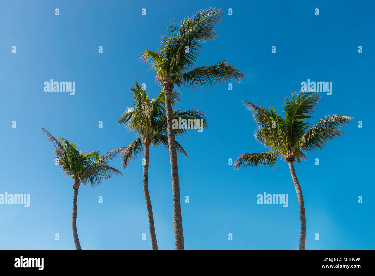 Four Palm Trees Blowing In The Wind - Stock Image