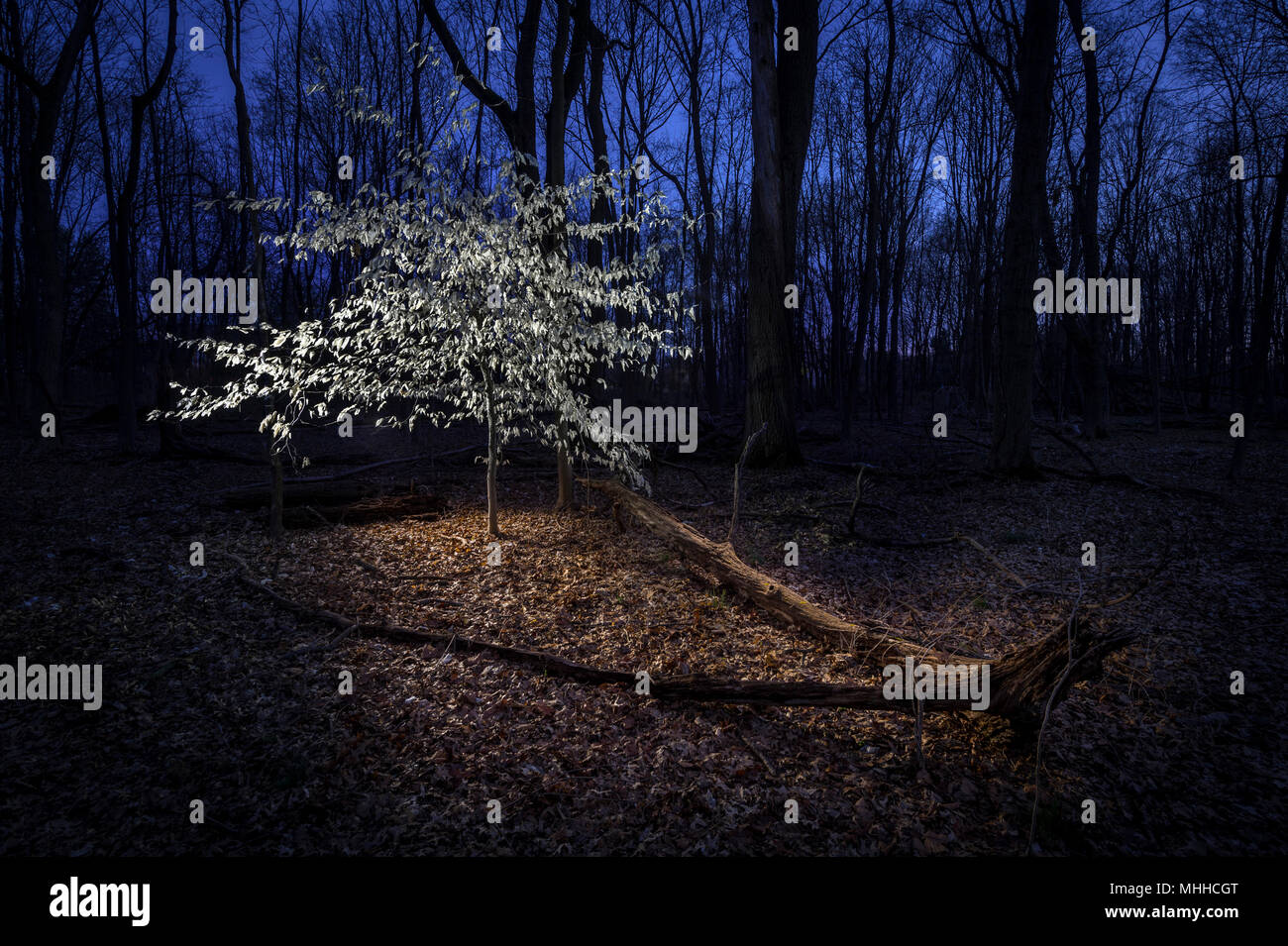 Marcescent Beech Tree In Winter At Night - Stock Image