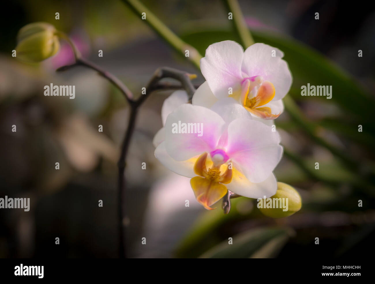 White Orchid Flower - Stock Image